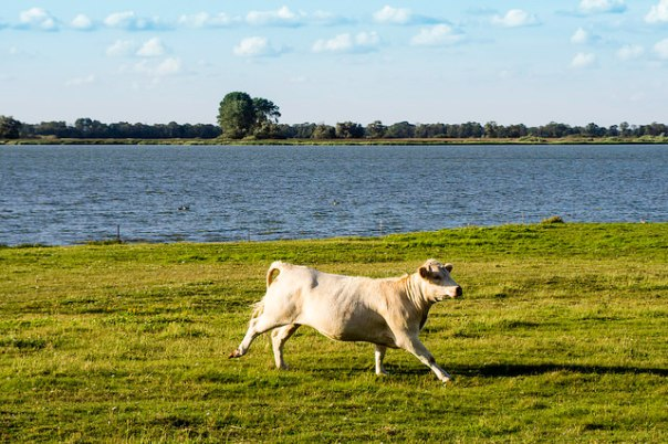 Cow, running = Galoppierende Kuh am See, par Sascha Kohlmann sur Flickr (CC BY-SA 2.0)